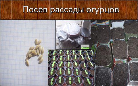 Посадка насіння огірків на розсаду