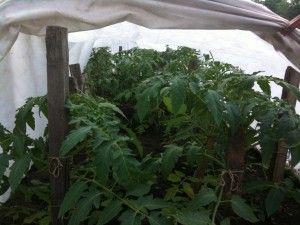 Посадка розсади томатів під плівку