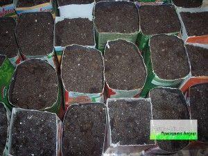 Вибір ємності для посадки розсади огірків