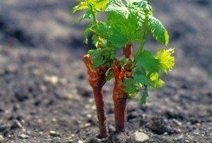 Посадка винограду восени саджанцями: практичні поради