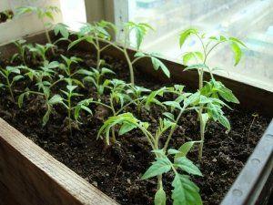 Полив можна здійснювати тільки під корінь рослини