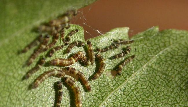 За допомогою вібрації, березові гусениці зав`язують дружбу