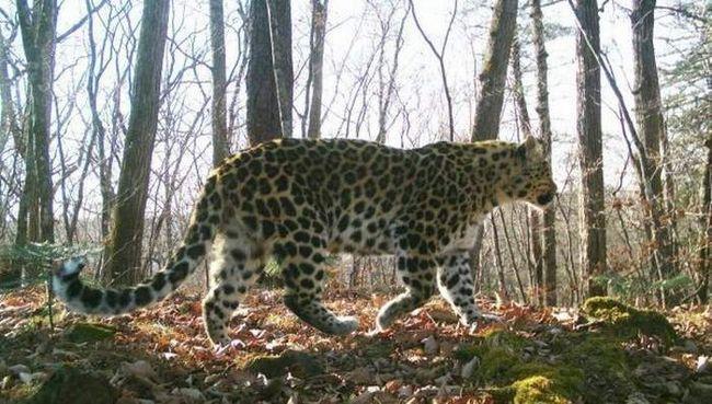 Постраждалого леопарда відпустять на свободу.