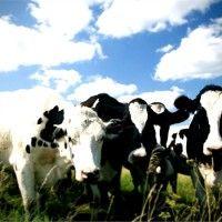 Поточно-цехова система виробництва молока