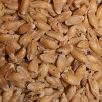 Пошкоджене і неповноцінне зерно і його використання