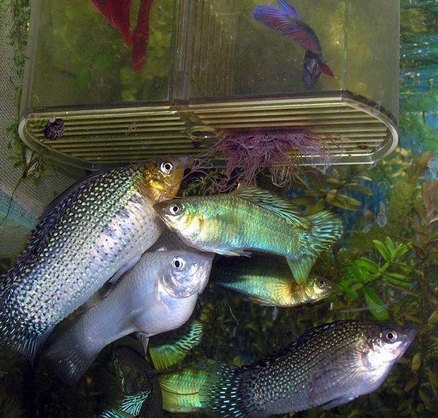 Риба в акваріумі