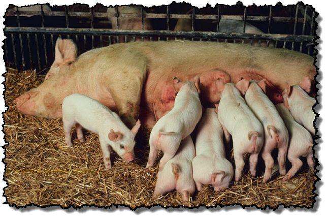 Правила прийому опоросу свиноматки в умовах приватного господарства
