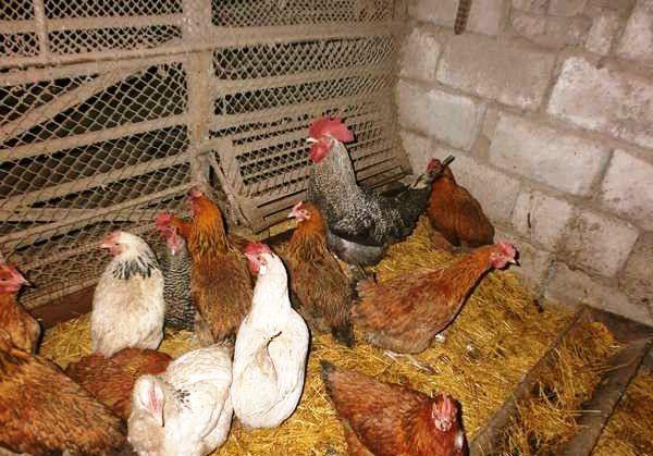 Чистий солома в курнику на підлозі