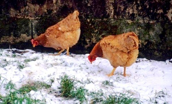 Курочки на зимовій прогулянці