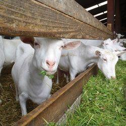 молочні кози