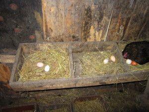 Фото гнізд для несучок
