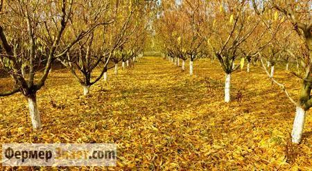 Переваги і недостакі осінньої обрізки плодових дерев