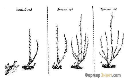Переваги та недоліки обрізання малини