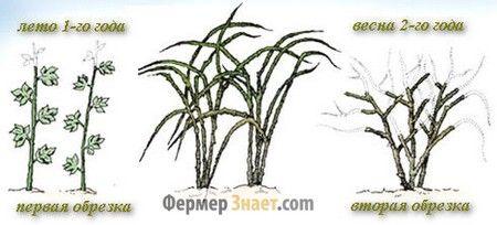 Обрізка малини по Соболєву