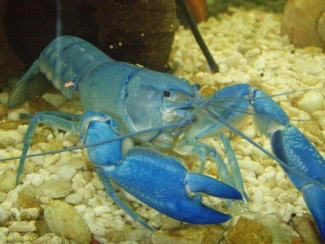 Блакитні кубинські раки мають яскраве забарвлення і миролюбний характер.