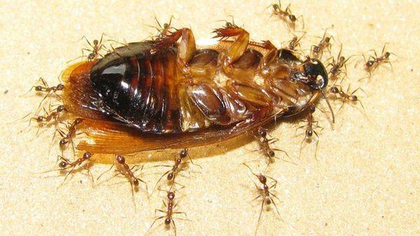 При перенесенні великих вантажів мурахи покладаються на нюх товаришів