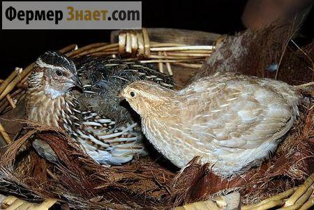 Все що варто знати любителю-птахівників про вирощування перепелів в домашніх умовах