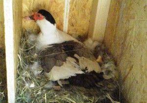 Гніздо для мускусною качки