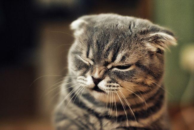 Причини виникнення алергії у кішки і способи її усунення