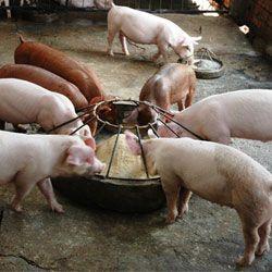 Свині їдять корм з додаванням преміксу