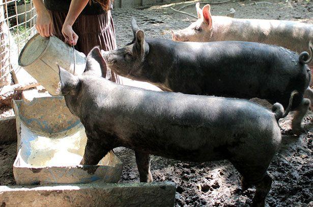 Годування свиней кормом з біодобавками
