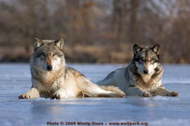 Вовки (wolf)