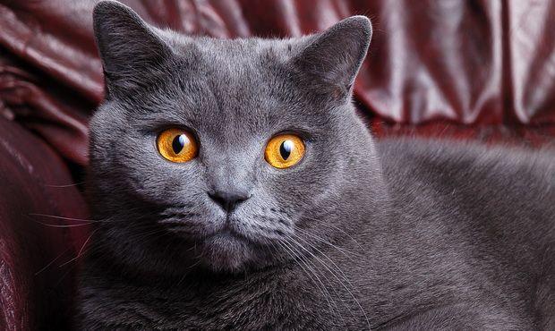 Щеплення від сказу кішкам: що потрібно знати власникам