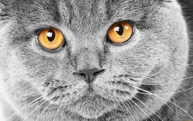 Звички британських кішок