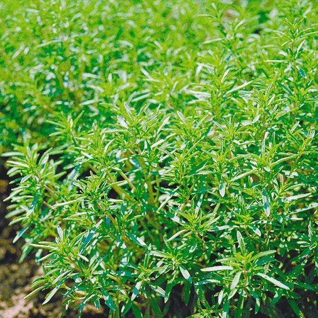 Пряні трави допоможуть зберегти людям молодість