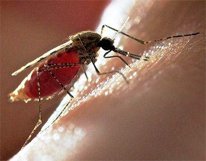 Продемонстрований спосіб використання комарів для вакцинації