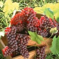 Проектування врожайності і складання плану підрізування виноградника