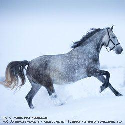 Походження та опис екстер`єру коней породи орловський рисак