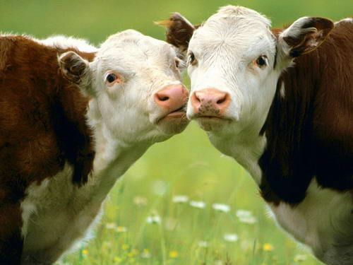 Новозеландці підрахували, що при виробництві одного літра молока виділяється близько 1 кг вуглекислого газу (CO2)
