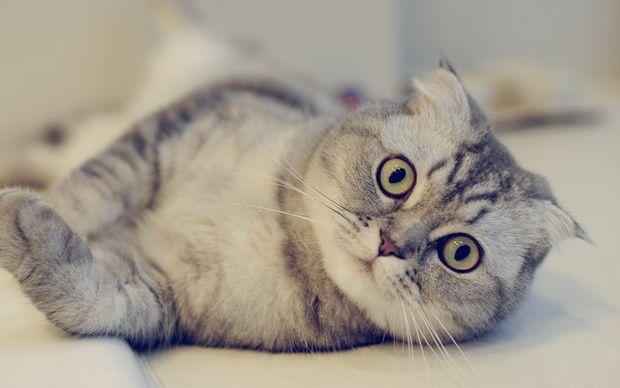 Пропала кішка! Що робити?