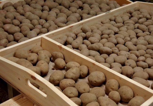 пророщування картоплі перед посадкою