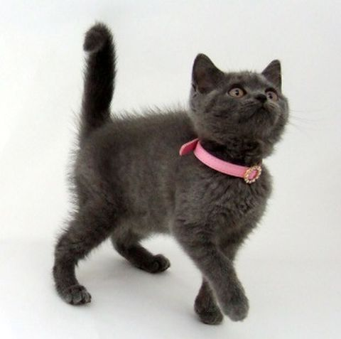 Протиблошині нашийник для кішок - як вибрати і застосовувати