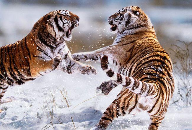 кадри найжорстокіших бійок і сутичок в світі тварин не на життя, а на смерть.