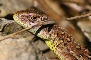 Прудка ящірка в домашніх умовах