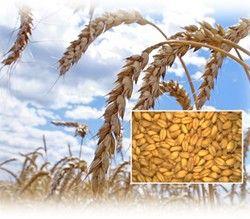 Пшениця як культура