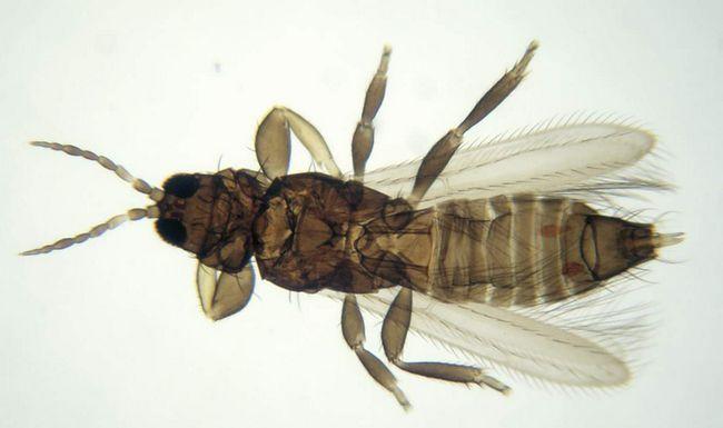 Пшеничний трипс (Haplothrips tritici).