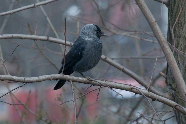 Галка (Corvus monedula).