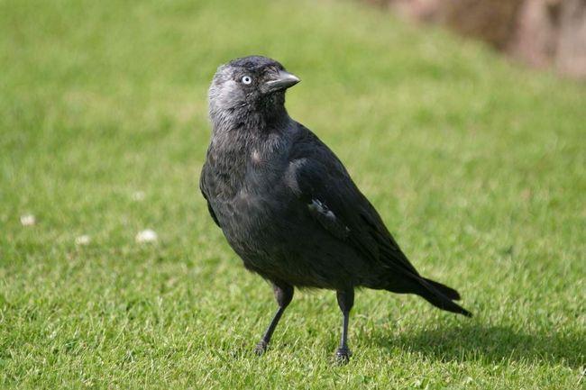 Галка - поширена в Євразії птах.