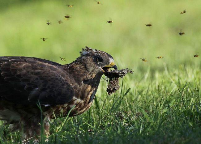 Осоїд розоряє осині гнізда.