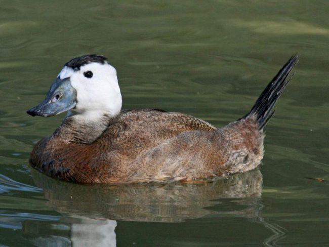 Савка - різновид качок.