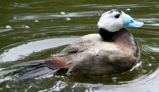 Іноді савки підкидають свої яйця в чужі гнізда.