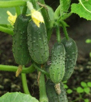 Огірки сорту «Завірюха» дуже смачні