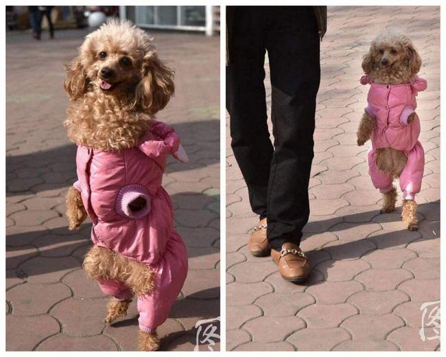 Пудель Барбі, яка навчилася ходити на задніх лапах.