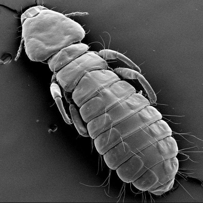 Пухоед під мікроскопом.