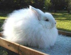 Пухові породи кролів