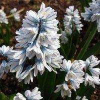 Пушкиния квітка